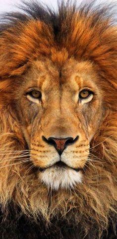 Lion ✿⊱╮beautiful close up photography