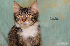 Meet Simba, a Petfinder adoptable Maine Coon Cat | Pekin, IL | Hello, I'm Simba and I am 6 months old!  I am a gorgeous, Main Coon mix!!  I came to TAPS from a...