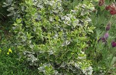 Foto Euonymus fortunei 'Emerald Gaiety' - Immergrüne Kriechspindel, Kriechender Spindelstrauch