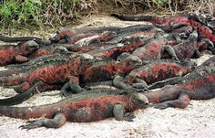 Image: A HEAP OF IGUANAS WARM THEMSELVES IN THE GALAPAGOS ISLANDS (© STR//Reuters)