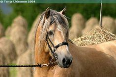 Ukkosen Poika Draft Horses, Horse Breeds, Horse Stuff, Beautiful Horses, Finland, Birds, Landscape, Friends, Cats