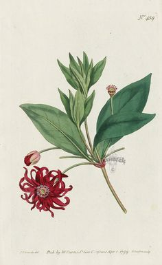 Illicium Floridanum. Red-Flowered Illicium or Aniseed-Tree. from Curtis pink amaryllis, poppy anemone, gladiolus, clematis, apple blossom, lavender