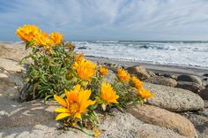 Daisies growing on the coastline of the Namaqua National Park. Northern Cape. South Africa