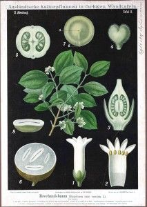 botanical illustrations black background   Strychnine tree. German educational plate, botany, black background ...