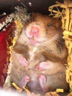 #hamster #funny #animal