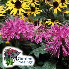 Buy Echinacea Purple Emperor Perennials Online. Garden Crossings Online  Garden Center Offers A Large Selection Of Echinacea Plants. Shop Our Onlineu2026