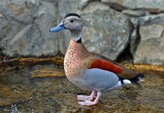 Ringed Teal Duck - Google Search