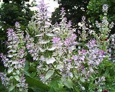 Scharlei: Bloemen smaken zeer aromatisch en geven met hun pastelkleur mooi contrast in salades