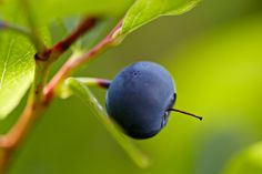 Vaccinium ovalifolium (Wild Blueberry)