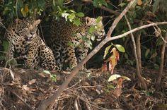 Saiba tudo sobre o pacote de viagem que leva os turistas em uma aventura única de contato com a natureza no Pantanal, incluindo observação e fotografia.