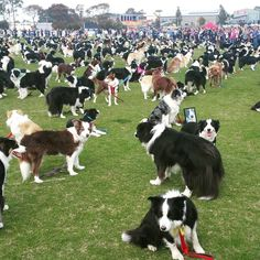 South Australian Border Collie Group Gathers 576 Dogs Together In an Attempt to Set a World Record(.one squirrel later there was a record breaking stampede. Border Collies, Border Collie Colors, Border Collie Puppies, Australian Border Collie, I Love Dogs, Cute Dogs, Herding Dogs, Yorkshire Terrier Puppies, Collie Dog