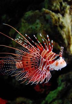 Peixe Tigre