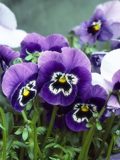 Winter Color: Pansies