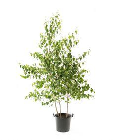 Whitespire Birch - clump
