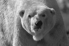 Polar Bear Hunt Black And White
