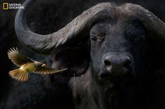 Cape Buffalo with Yellow-billed oxpecker - Barbara Fleming/2016 National Geographic Nature Photographer of the Year