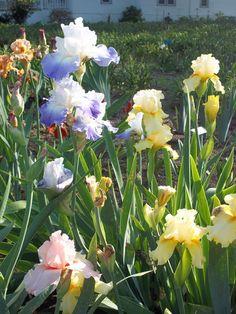 Bearded Iris-My favorite flower!