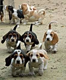 Basset Hound Puppies ~ OH the cuteness!!