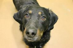 FOX Furry Friend of the Week: Chandler, a Gordon Setter - Chicago News and Weather | FOX 32 News #pawschicago #adoptapet #animals #dogs