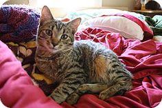 Nashville, TN - Domestic Shorthair. Meet Mikey a Kitten for Adoption.