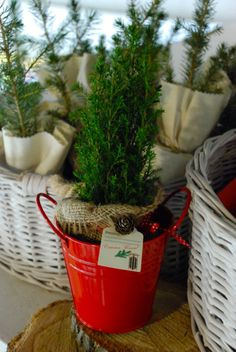 Conifer Decorations Evergreen Pots Small Christmas Tree Plant Favor Plante Marturii