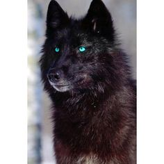 wolves ❤ liked on Polyvore featuring animals