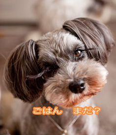 Cutest miniature schnauzers from Japan. They keep the hair on the ears long! Different and cute!