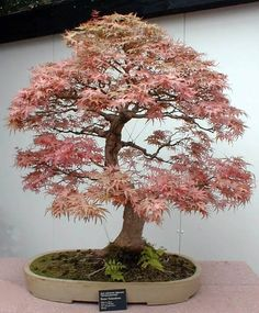 The Federahorn Maple bonsai tree, or traditional bonsai, has maple leaves that almost look like orange spiders.