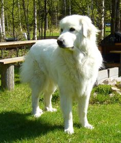 This Great Pyrenees looks quite similar to ours, Freyja.  She's a sweet polar bear and so good at guarding our menagerie.