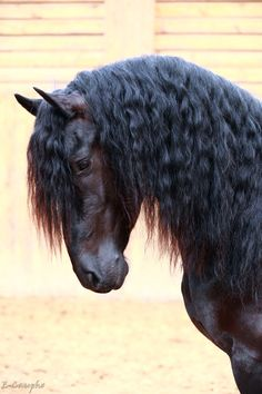 Big Horses, Black Horses, Horses And Dogs, Friesian Horse, Buckskin Horses, Majestic Horse, Most Beautiful Animals, All The Pretty Horses, Horse Pictures