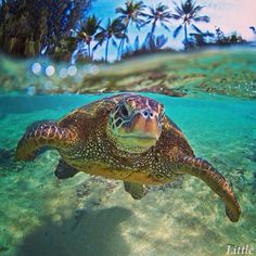 Sea Turtle by Clark Little Photography Baby Sea Turtles, Cute Turtles, Beautiful Creatures, Animals Beautiful, Clark Little Photography, Pet Photography, Animals And Pets, Cute Animals, Turtle Love