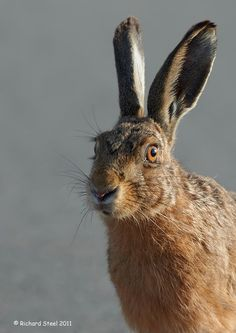 Photograph Hare Stare by Richard Steel on 500px