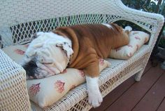 "❤ ""In the fall - chasing the squirrels out of the yards is really hard work"" ❤ Posted from I love English Bulldogs"