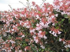 Abelia x grandiflora - sweet smelling, looks almost like a lilac microphylla