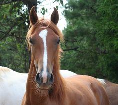 paard van het kwart wallpaper