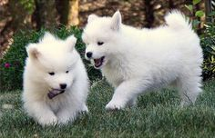 samoyed syberian- they look like polar bear cubs!!! And not only that but theyre hypoallergenic!!!! TOO MUCH CUTENESS.