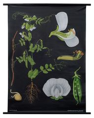 Pea Botanical Poster