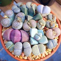 Went to Home Depot to pick up light bulbs the other day and somehow ended up with these I know I'm not the only one who does this! #lithops #lapidaria #pleiospilosneliiroyalflush #mesembs #livingstones #nature #succulent #succulents #succulove #gardening #plants
