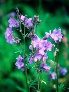 Jacob's ladder (Polemonium caeruleum) Mature size: 24 inches tall and 12 inches wide. Ideal growing conditions: full sun to part shade; Part Shade Plants, Shade Shrubs, Shade Perennials, Shade Garden, Garden Plants, Garden Shrubs, Shade Landscaping, Landscaping Ideas, Country Cottage Garden