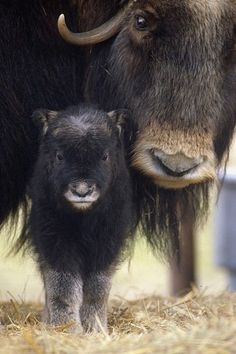cool Closeup of Muskox Cow with Calf. Captive Alaska Wildlife Conservation Center, SC...
