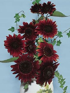 Moulin Rouge Sunflower    A great deep red sunflower.  Sturdy six foot branching plants adorned with smoldering burgundy flowers with deep chocolate centers. Combine these with Moonwalkers for a bold landscape statement or just plant them in the cutting garden for a bounty of pollen-free cuts for the table.
