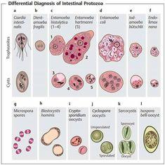 Parasitology - intestinal protozoa