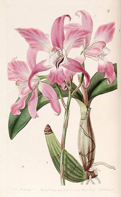 """Laelia autumnalis"", 1839 - From ""Edwards's Botanical Register"", volume 25 (NS 2) plate 27, by Miss Drake (1803-1857) del. , G. Barclay sc."