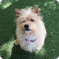Oakland, CA - Norwich Terrier. Meet Dixie, a dog for adoption. http://www.adoptapet.com/pet/12690570-oakland-california-norwich-terrier