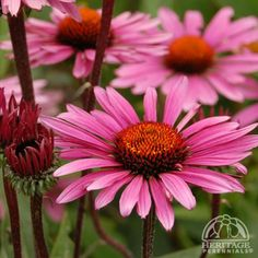 1000 ideas about echinacea on pinterest perennials. Black Bedroom Furniture Sets. Home Design Ideas