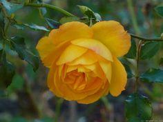 'Sahara ' Rose Photo
