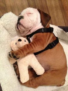 This little Bulldog Puppy is so cute sleeping with its teddy bear! Puppies sleeping with their cuddly stuffed friends. Little Puppies, Cute Puppies, Cute Dogs, Dogs And Puppies, Doggies, Funny Dogs, Baby Dogs, Terrier Puppies, Corgi Puppies