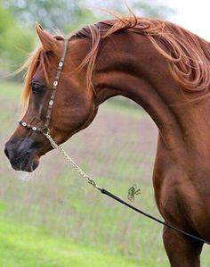 Absolutely magnificent Arabian