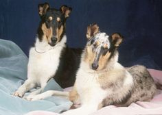 Smooth collies - Tricolor and Blue Merle