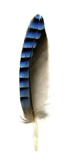 Thumb feather or Alula of Eurasien Jay - Garrulus glandarius - Wikimedia Commons